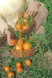 Tomates jaunes récemment récoltées Images stock