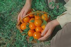 Tomates jaunes récemment récoltées Photographie stock libre de droits