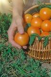 Tomates jaunes récemment récoltées Tomates jaunes fraîches sur la terre Images stock