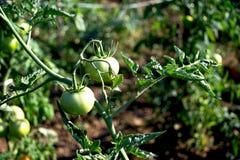 Tomates jovenes verdes por la mañana Imagenes de archivo