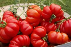 Tomates mûres dans une boîte en bois dans le jardin image libre de droits