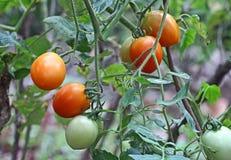Tomates mûres et mûrissantes à l'usine Photos libres de droits