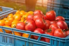 Tomates mûres rouges et jaunes à vendre au marché d'agriculteurs du jour ensoleillé d'automne dans la boîte en plastique bleue Photos stock