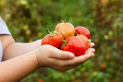 Tomates mûres rouges fraîches chez la main du ` s de la femme Images stock