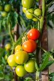 Tomates mûres de jardin, tomates vertes dans le jardin, tomates fraîches Images libres de droits
