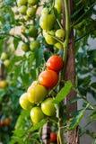 Tomates mûres de jardin, tomates vertes dans le jardin, tomates fraîches Image libre de droits