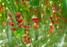 Tomates mûres en serre chaude Photographie stock libre de droits
