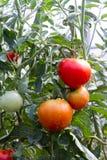 Tomates mûres et non mûres sur la vigne Photos stock
