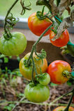 Tomates mûres, grandes Photos libres de droits