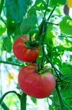 Tomates mûres naturelles Images libres de droits