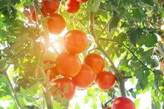 Tomates mûres naturelles Photo stock