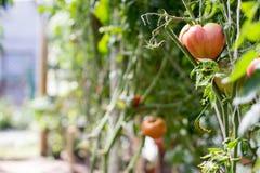 Tomates mûres s'élevant en serre chaude Images libres de droits