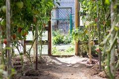 Tomates mûres s'élevant en serre chaude Photo libre de droits