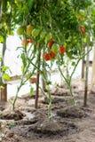 Tomates mûres s'élevant en serre chaude Photographie stock libre de droits
