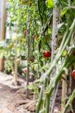 Tomates mûres s'élevant en serre chaude Photographie stock