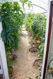 Tomates mûres s'élevant en serre chaude Image stock