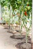 Tomates mûres s'élevant en serre chaude Photos libres de droits