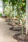 Tomates mûres s'élevant en serre chaude Images stock