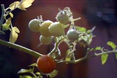 Tomates mûres s'élevant sur un buisson Images libres de droits