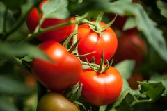 Tomates – macrophotography 'de Pomodori ' fotos de stock royalty free