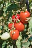 Tomates maduros Foto de archivo libre de regalías