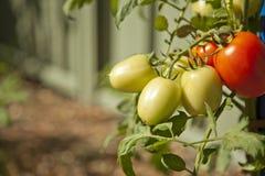 Tomates maduros Foto de Stock