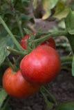 Tomates maduros con las marcas de agua Imagenes de archivo