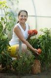 Tomates maduros de la cosecha de la mujer Fotos de archivo libres de regalías