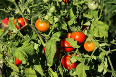 Tomates maduros de la vid orgánica Imagen de archivo libre de regalías