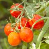 Tomates maduros del jardín Foto de archivo libre de regalías