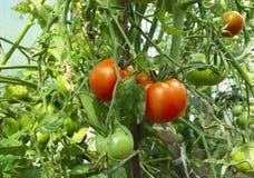 Tomates maduros del jardín Imagen de archivo libre de regalías
