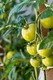 Tomates maduros del jardín, tomates verdes en el jardín, tomates frescos Imágenes de archivo libres de regalías