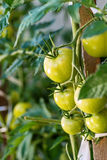 Tomates maduros do jardim, tomates verdes no jardim, tomates frescos Imagens de Stock Royalty Free