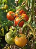 Tomates maduros e inmaduros en la planta foto de archivo