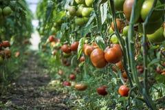 Tomates maduros em uma cama em uma estufa Foto de Stock