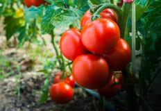 Tomates maduros en el jardín listo para cosechar Imágenes de archivo libres de regalías