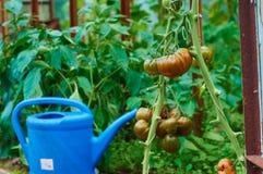 Tomates maduros en invernadero fotos de archivo