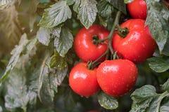 Tomates maduros en jardín Fotos de archivo