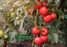 Tomates maduros en jardín Imagen de archivo