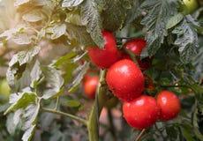Tomates maduros en jardín Imagen de archivo libre de regalías