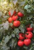 Tomates maduros en jardín Fotografía de archivo libre de regalías