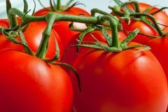 Tomates maduros en una ramificación Imágenes de archivo libres de regalías