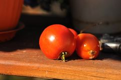 Tomates maduros frescos Imagen de archivo libre de regalías