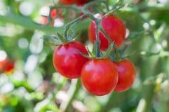 Tomates maduros jugosos en una rama, el concepto de cosecha y el gardenin Imagen de archivo