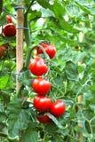 Tomates maduros listos para escoger Foto de archivo