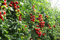 Tomates maduros listos para escoger Foto de archivo libre de regalías