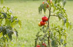 Tomates maduros no jardim Imagem de Stock Royalty Free