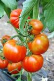 Tomates maduros rojos Fotos de archivo libres de regalías