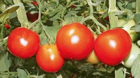 Tomates maduros rojos Imágenes de archivo libres de regalías