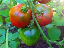 tomates maduros rojos en el jardín Fotos de archivo libres de regalías